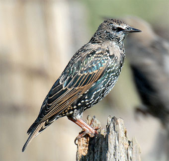 The European starling