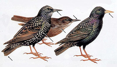 Starlings painted by Roger Tory Peterson